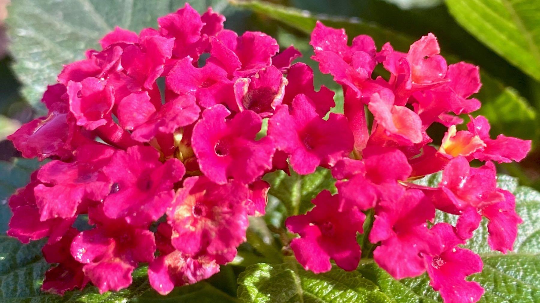 Lantana bright pink
