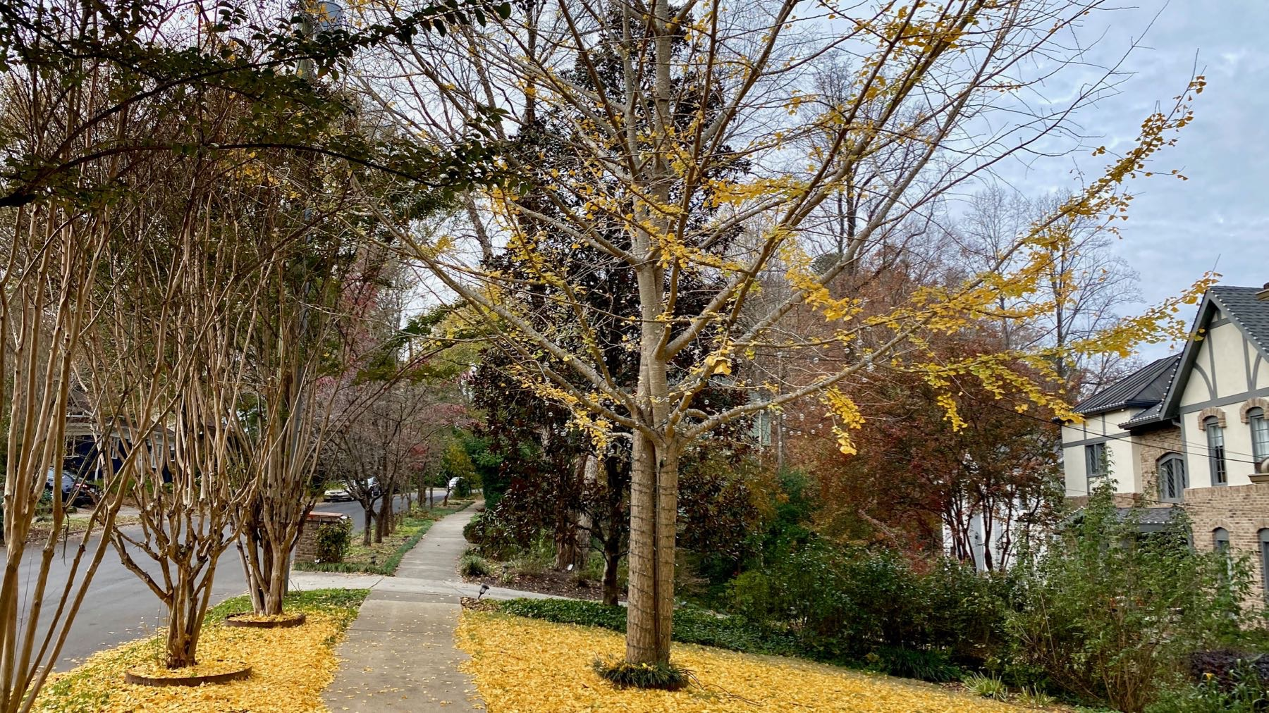 Ginkgo leaves down