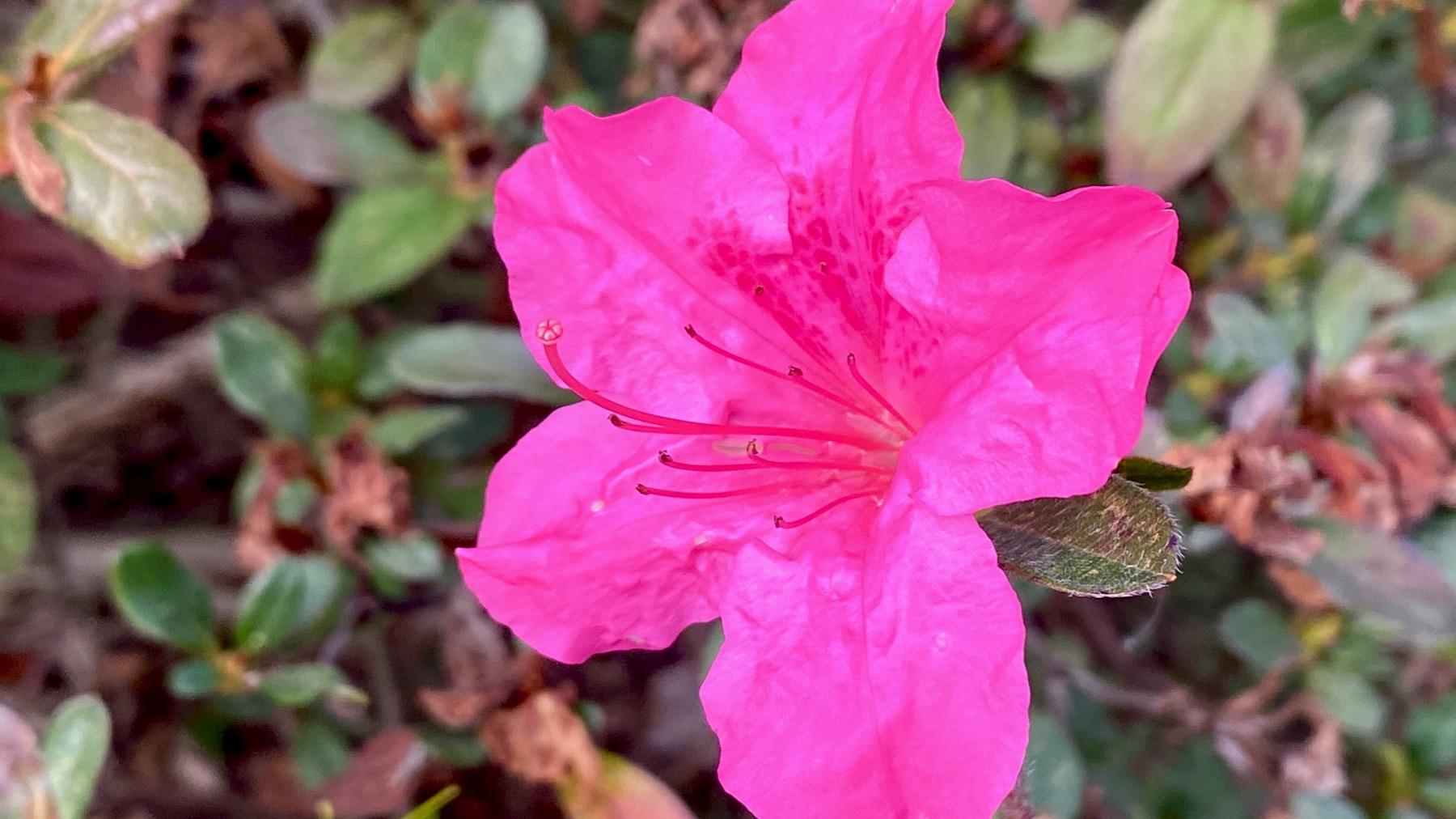 Azalea pink pink