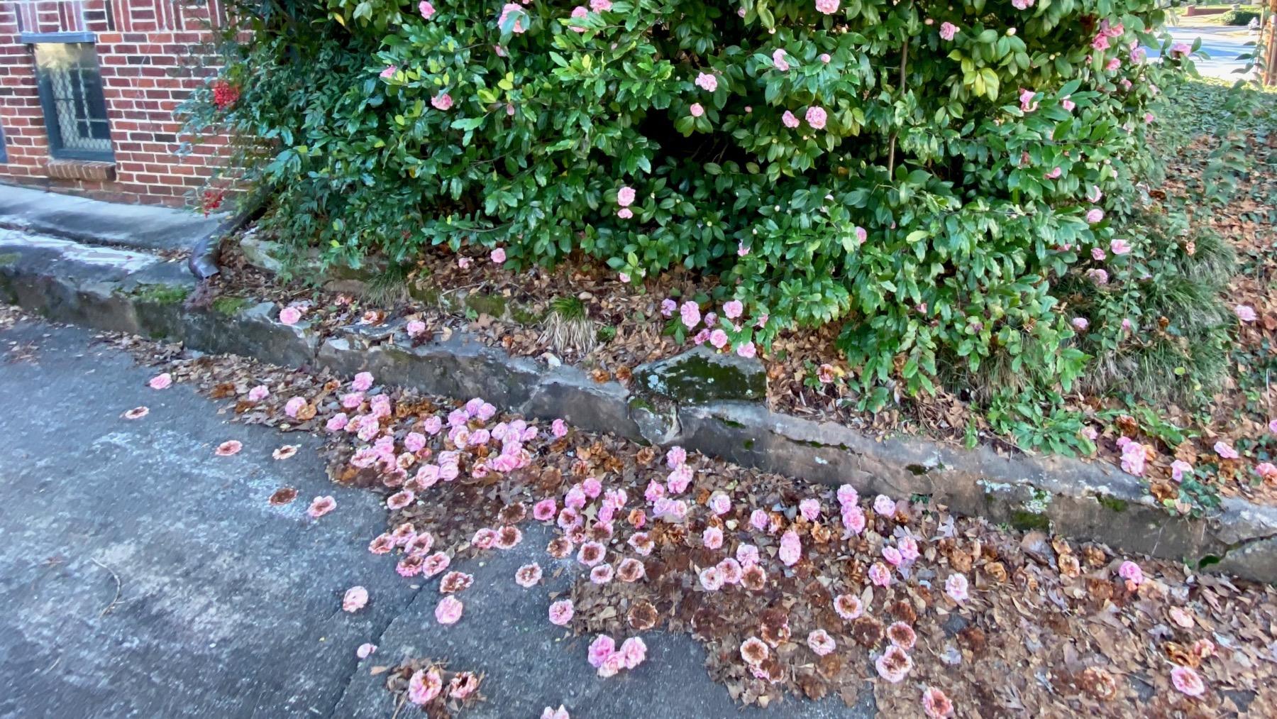 Camellia flower drop