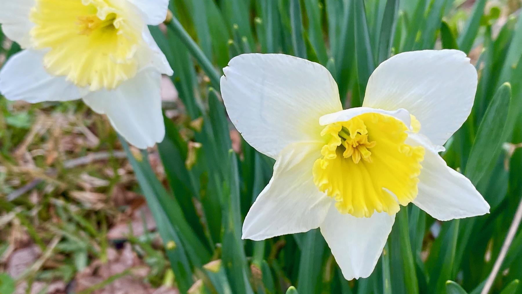 Daffodils bicolor