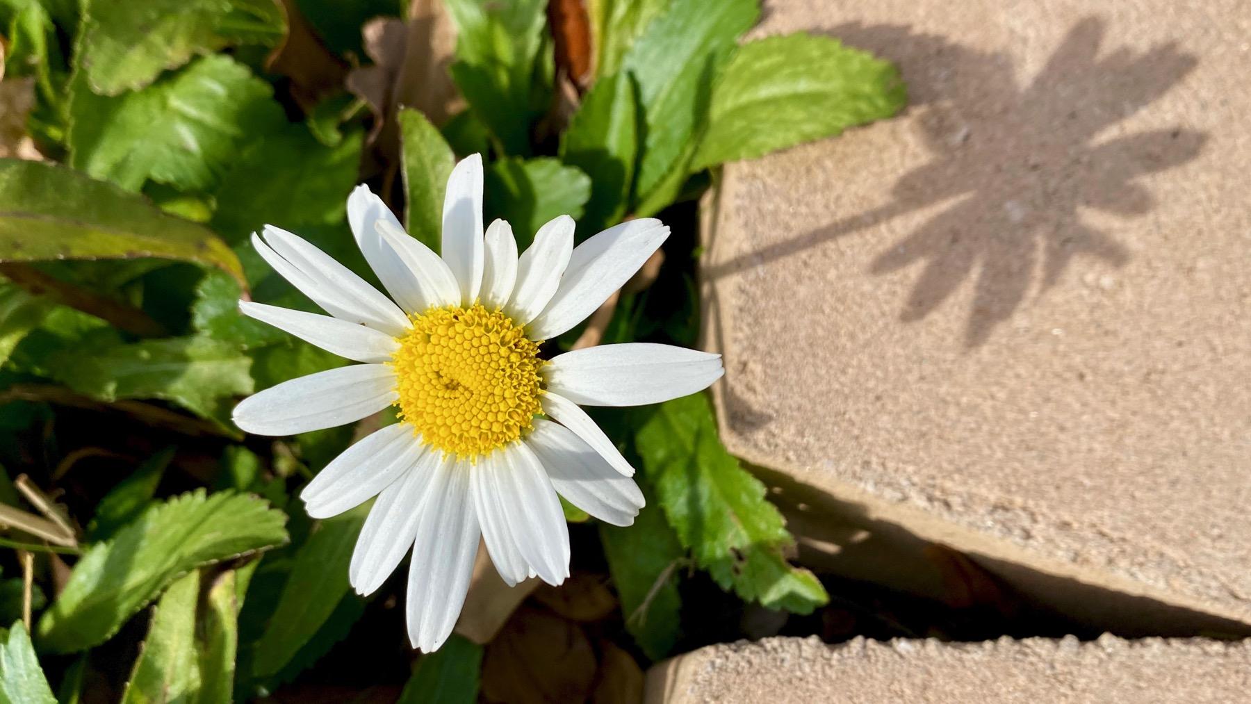 Daisy shadow