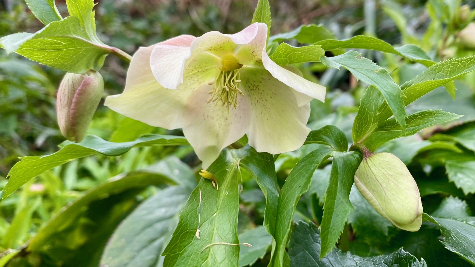 Green white lenten rose