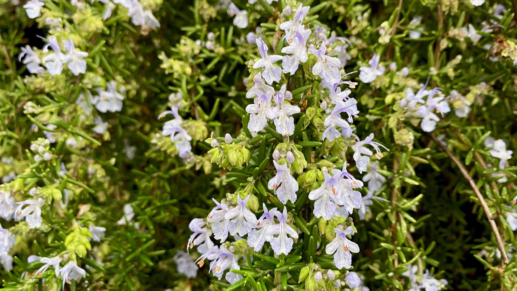 Rosemary blooms