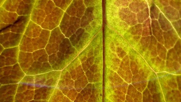 Leaf backlit