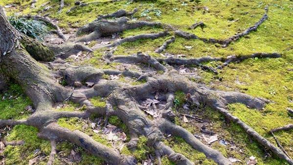 Tree roots on surf