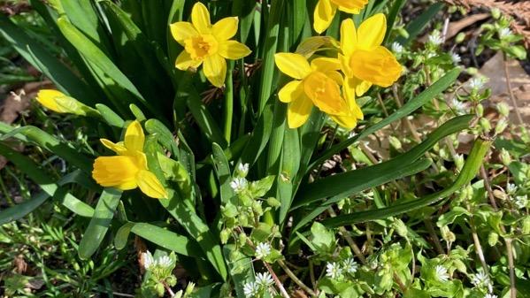 Mini daffies n white weeds
