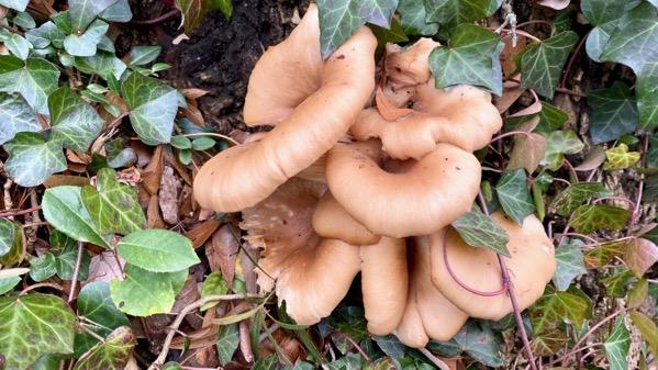 Stump fungi normal