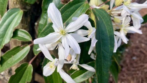 Bloomin white vine
