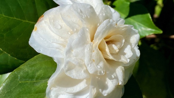 Camellia white droplets
