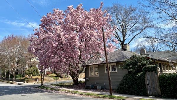 Magnolia full bloom
