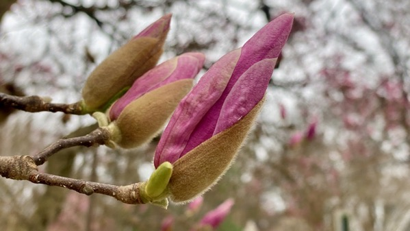 Magnolias on their way