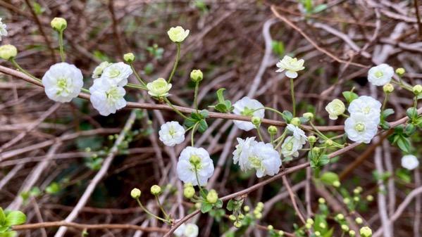 Small white blooms shrub