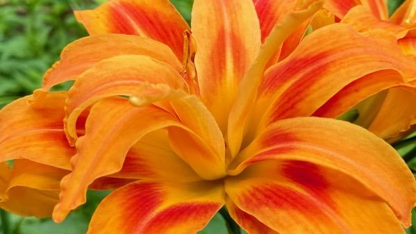 Orange gold lily