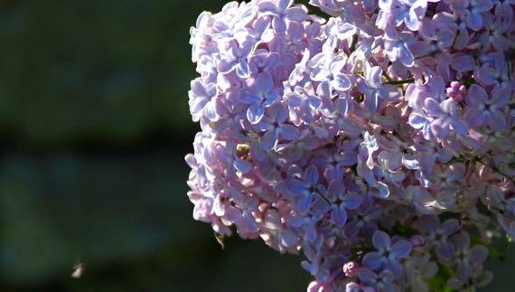 Ardboe lilac