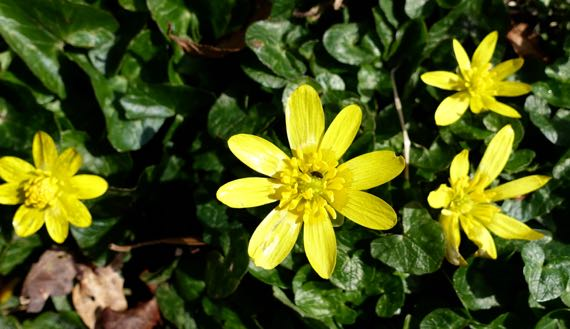 Badbury yellow fleur