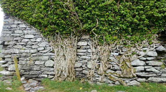 Ballycarbery ivy stems