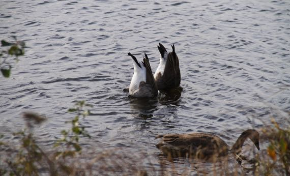 Canada geese feeding Seney