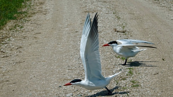 Caspian tern maybe