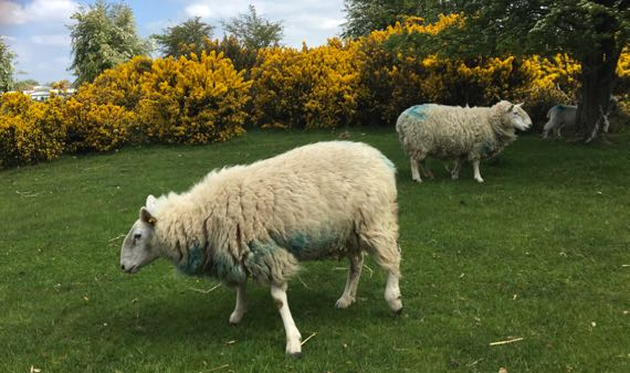 Curragh sheep