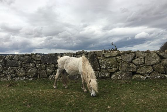 Dartmoor n pony