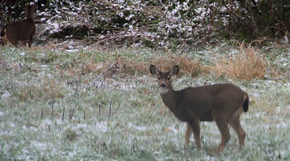 Deer OR