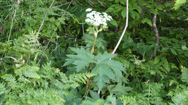 Heracleum watch it