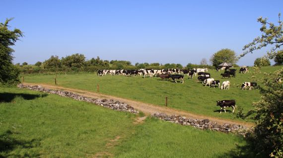 Holsteins on Uisneach