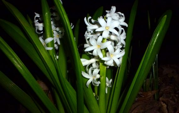 Hyacinth  flower spike at night 2012 Feb