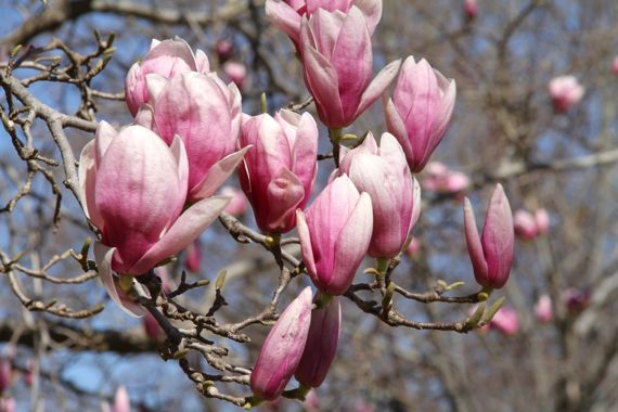 Japanese magnolia almost open cluster