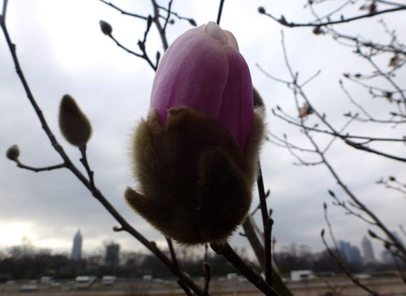 Japanese magnolia bud against cityscape