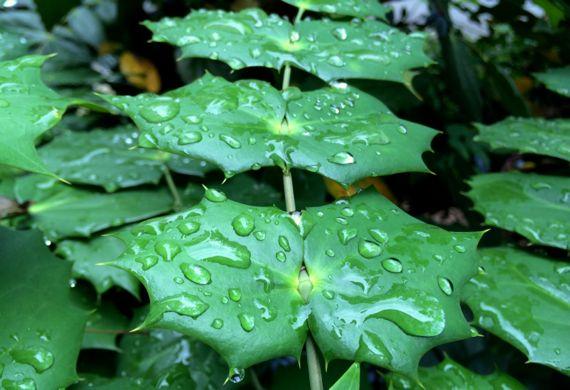 Mahonia leaves raindrops