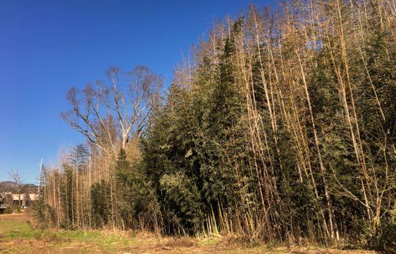 PiedPk bamboo