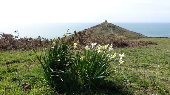 Rame head daffodils