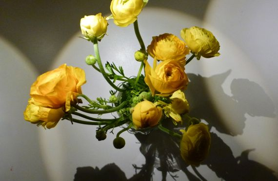 Ranunculus yellow from above