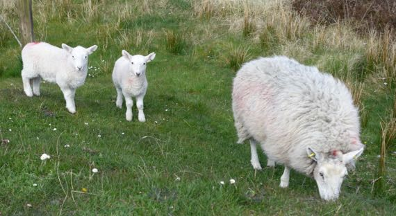 SallyGap sheep