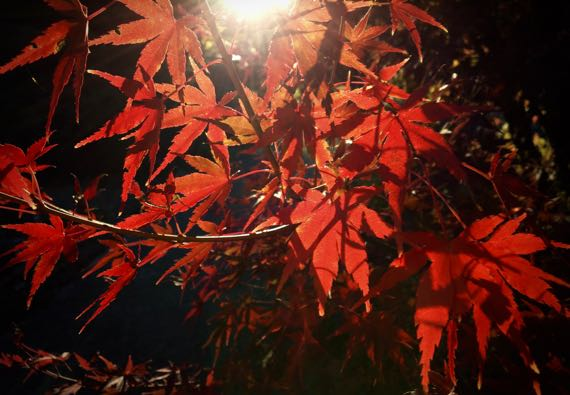Acer palmatum backlit