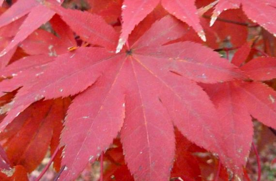 acer_palmatum_fall_color_2010.jpg