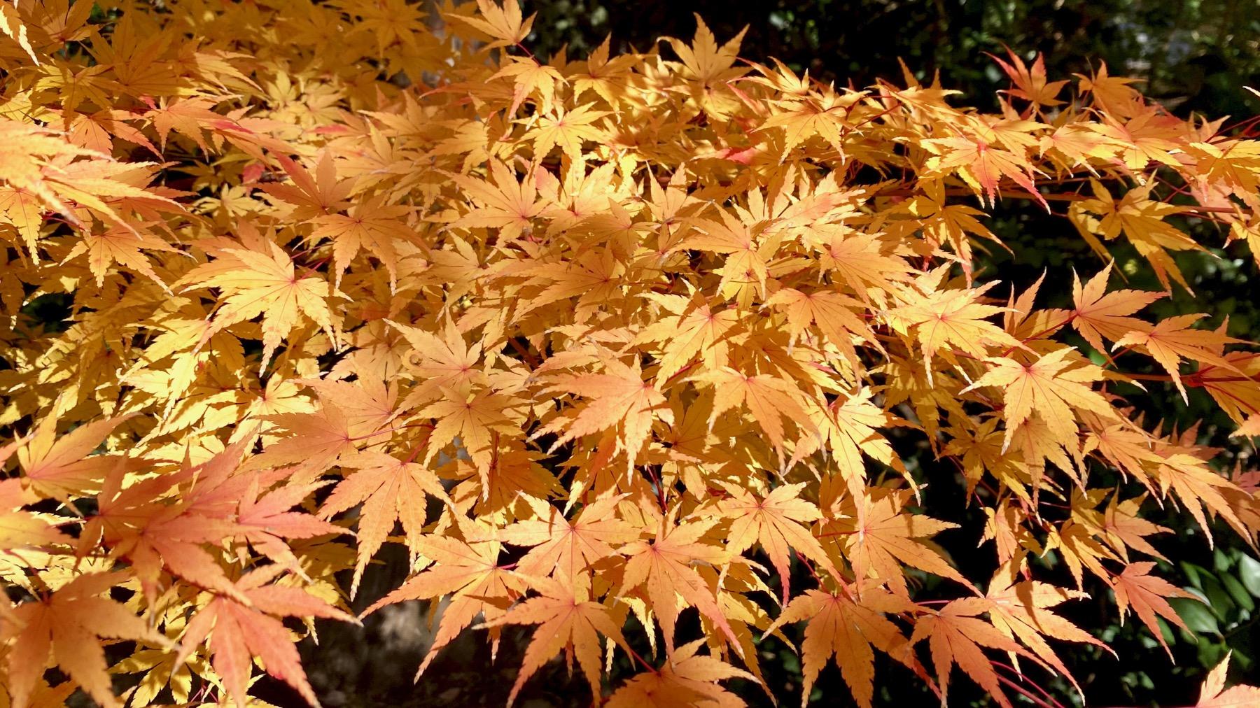 Acer palmatum golden