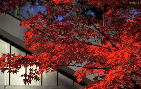 Acer palmatum in autumn red