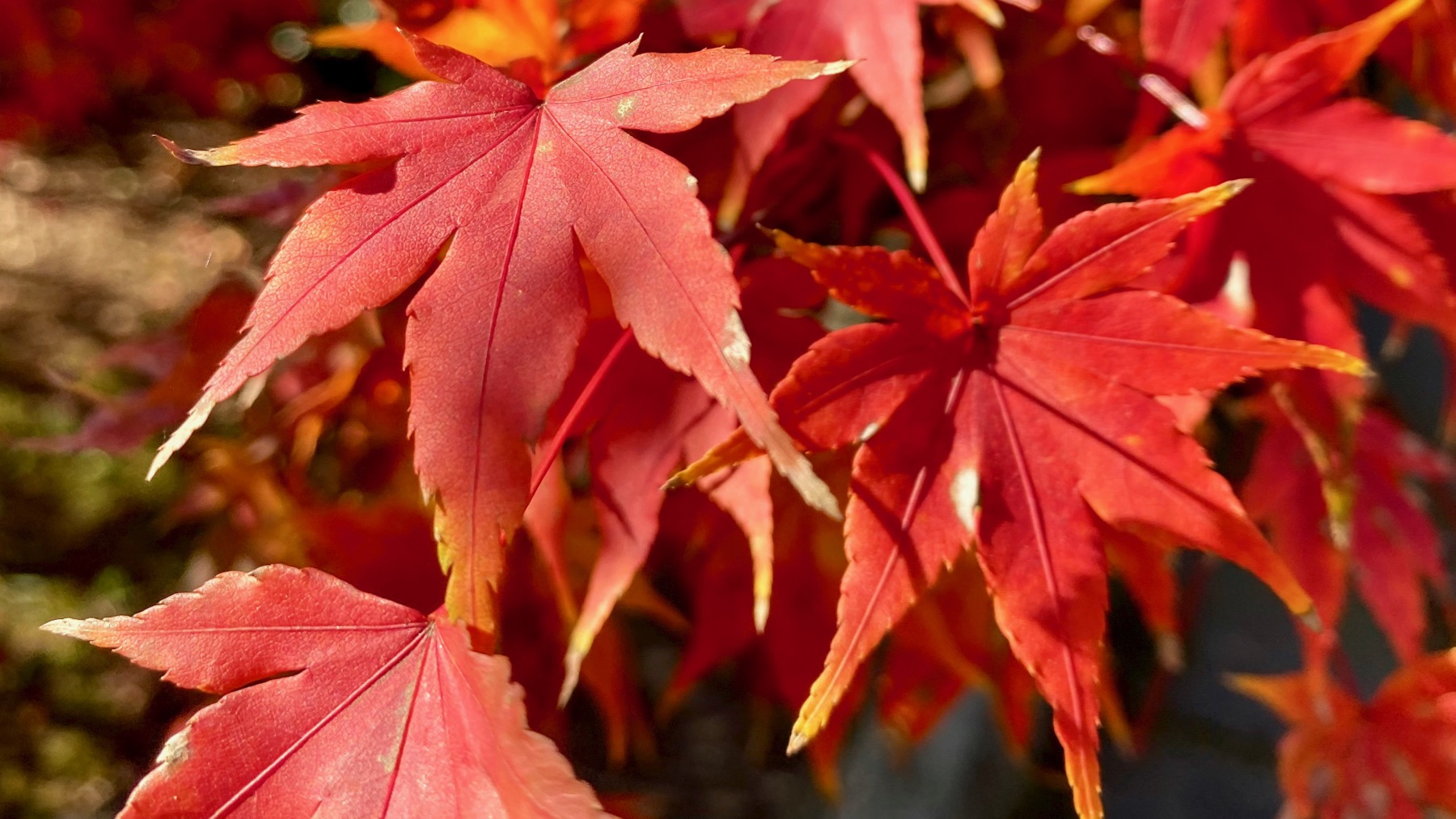 Acer palmatum red leaves