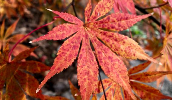 Acer palmatum red orange