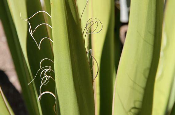 agave_leaf_edges_abg_2011.jpg