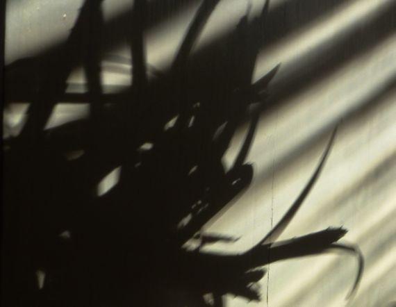 Aloe winter shadow