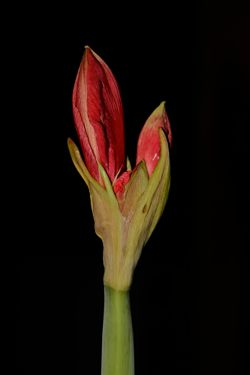 Amaryllis bud becoming flower
