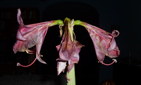Amaryllis fades in flash dark