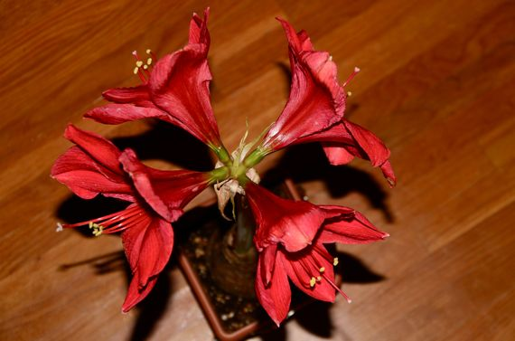 Amaryllis four from the top