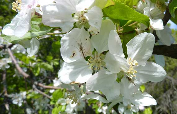 apple_blossoms_bugs.jpg