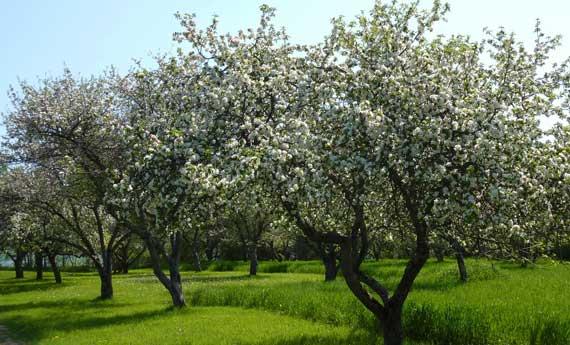 apple_trees_in_full_bloom.jpg
