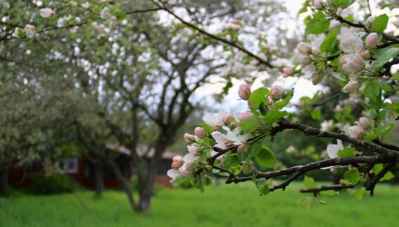 Apple blossoms beginning